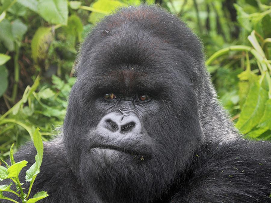 afrika-oeganda-gorilla