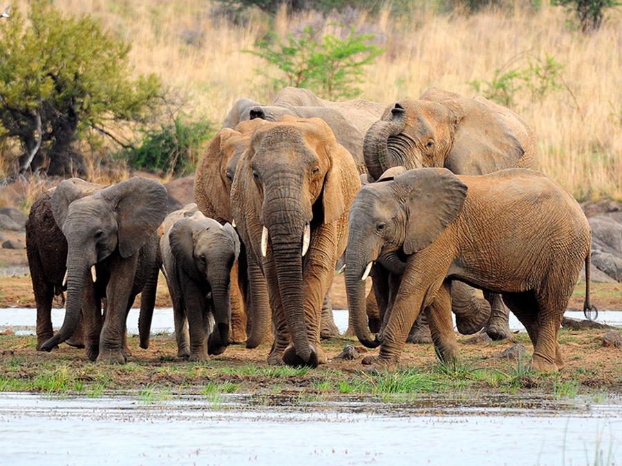 afrika-olifanten